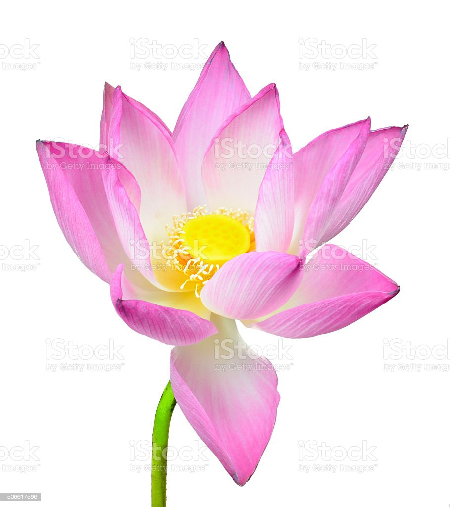 Lotus Flower On White Background Stock Photo More Pictures Of