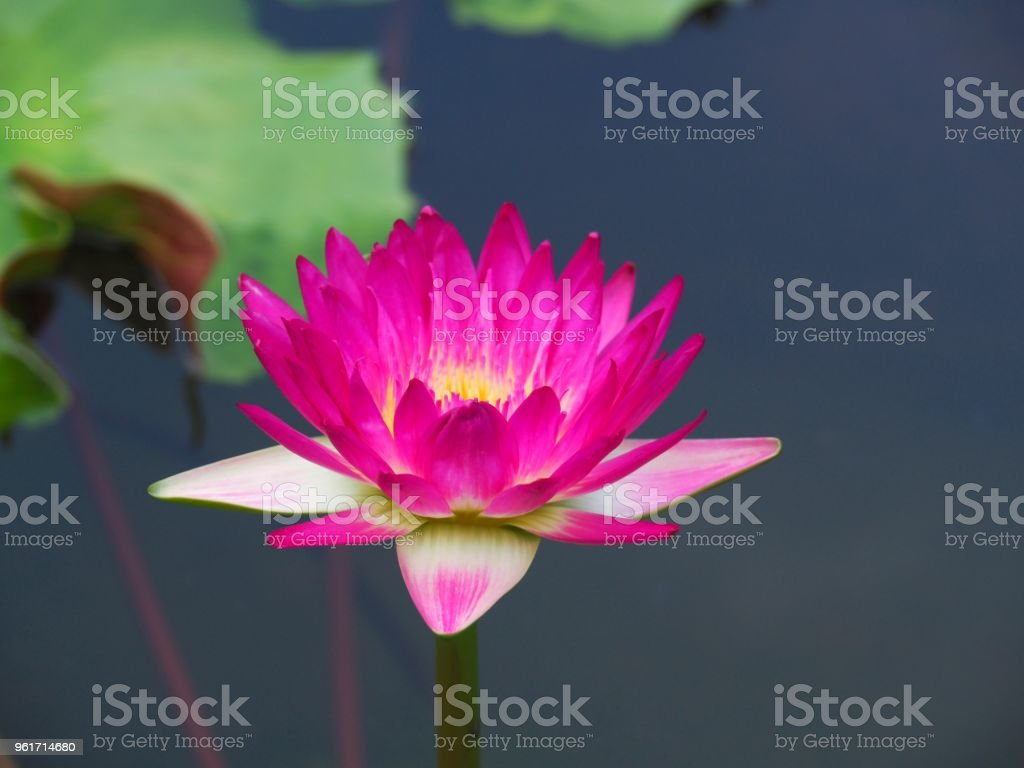 Lotus flower or water lily and green leaf beautifully blooming in lotus flower or water lily and green leaf beautifully blooming in the spa pool to izmirmasajfo