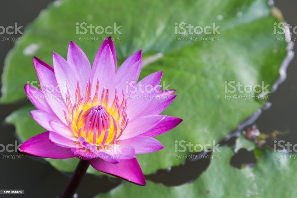 Lotusblomma eller näckros blomma blommar med lotus löv bakgrund i dammen på soliga sommaren eller våren dag. Nymphaea näckros. Direktör gt Mroore näckros. - Royaltyfri Avkoppling Bildbanksbilder