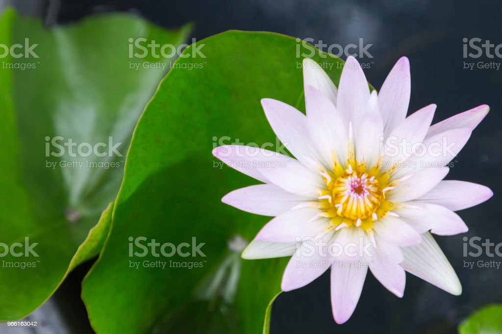 Lotus flower or water lily flower blooming with lotus leaves background in the pond at sunny summer or spring day. Nymphaea water lily. Director G.T. Mroore water lily. - Royalty-free Backgrounds Stock Photo