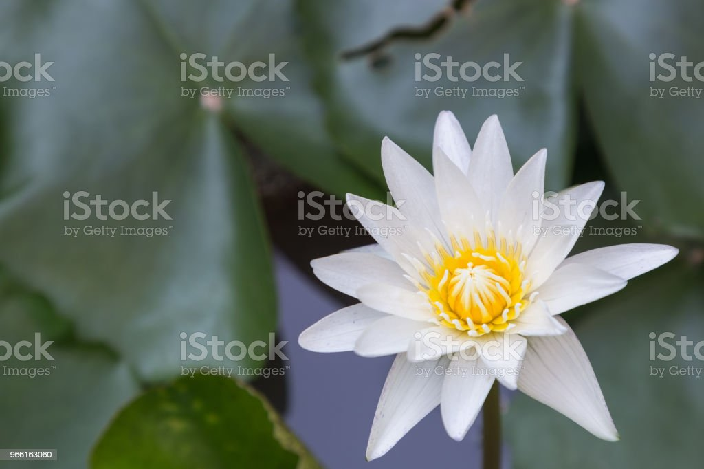 Lotus flower or water lily flower blooming with lotus leaves background in the pond at sunny summer or spring day. Nymphaea water lily. Director G.T. Mroore water lily. - Стоковые фото Без людей роялти-фри