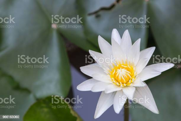 Lotus Flower Or Water Lily Flower Blooming With Lotus Leaves Background In The Pond At Sunny Summer Or Spring Day Nymphaea Water Lily Director Gt Mroore Water Lily - Fotografias de stock e mais imagens de Beleza