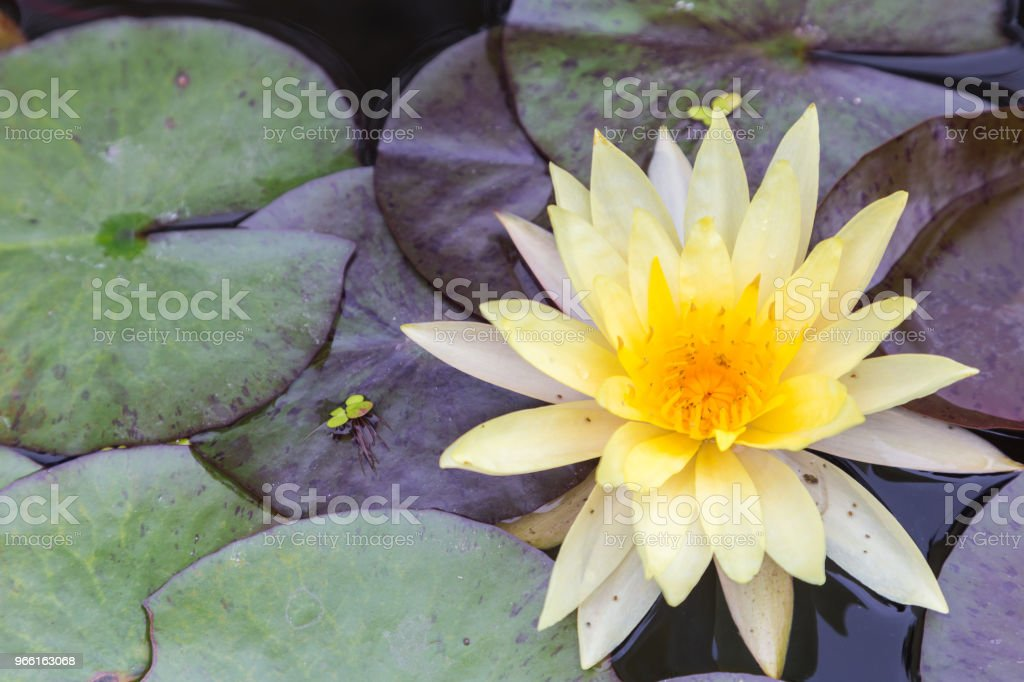 Lotusbloem of water lily bloem bloeien met lotus vertrekt achtergrond in de vijver zonnige zomer of lente. Waterlelie Nymphaea. Directeur gt Mroore waterlelie. - Royalty-free Achtergrond - Thema Stockfoto
