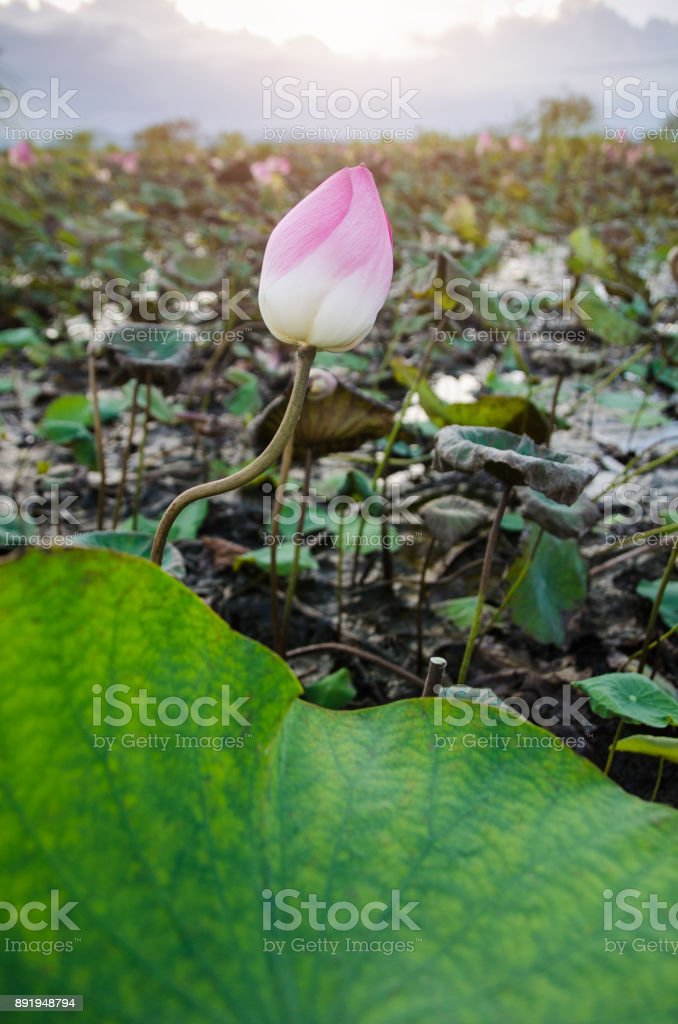 Lotus flower or water lily in pond stock photo