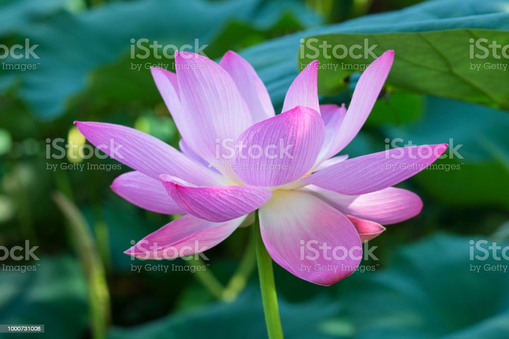 Lotus Flower Petal Stock Photo More Pictures Of Beauty Istock