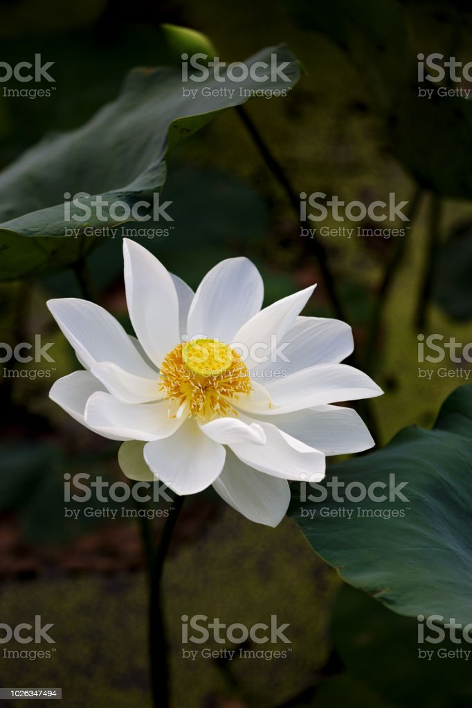 Lotus Flower Stock Photo More Pictures Of Aquatic Organism Istock