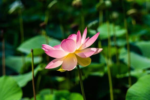 Royalty free zen screensavers pictures images and stock photos istock zen screensavers pictures images and stock photos lotus flower stock photo mightylinksfo