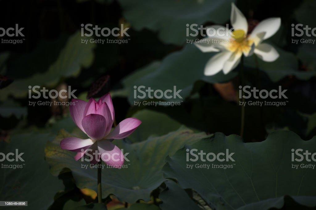蓮花圖像檔