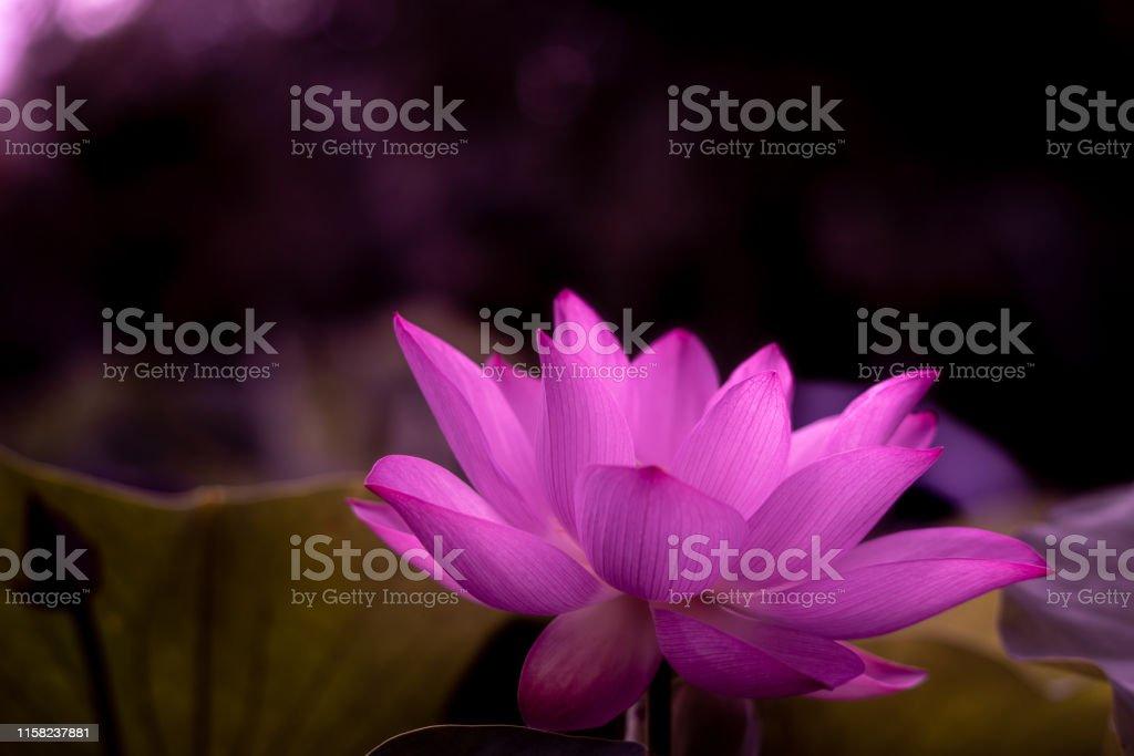 蓮花 - 免版稅一朵花圖庫照片