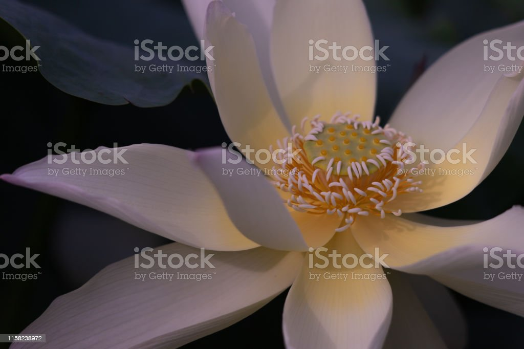 蓮花 - 免版稅一個物體圖庫照片