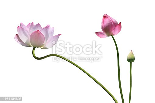 Lotus flower on the white background