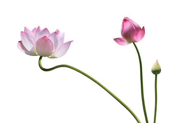 Lotus flower Lotus flower on the white background water lily stock pictures, royalty-free photos & images