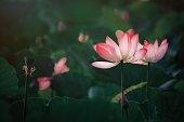 istock Lotus flower 1264299552