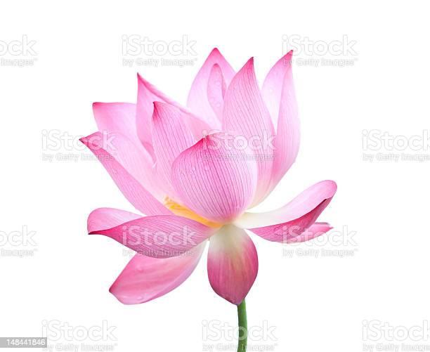 Lotus flower picture id148441846?b=1&k=6&m=148441846&s=612x612&h=bz qbqzbgvaofyfzcuxl rw smie ubup7auxupe8hm=