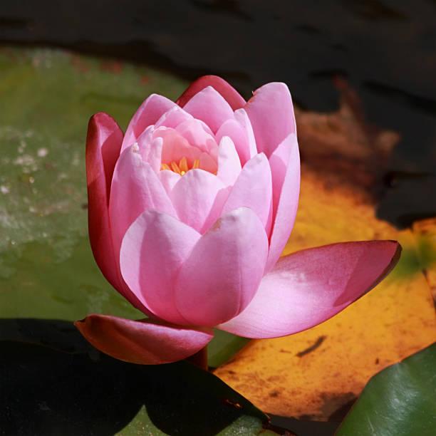 Lotus Blume – Foto