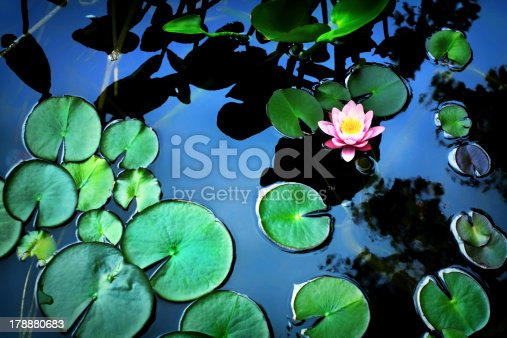 Above view of beautiful lotus flower in the pond