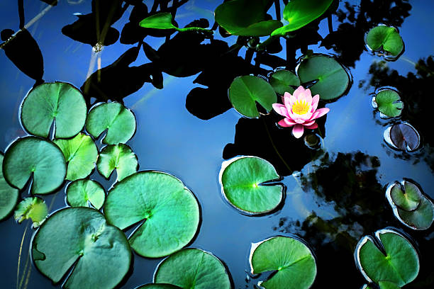 Lotus flower Above view of beautiful lotus flower in the pond water lily stock pictures, royalty-free photos & images