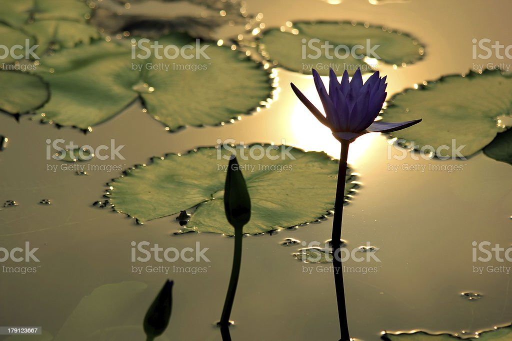 lotus flower royalty-free stock photo