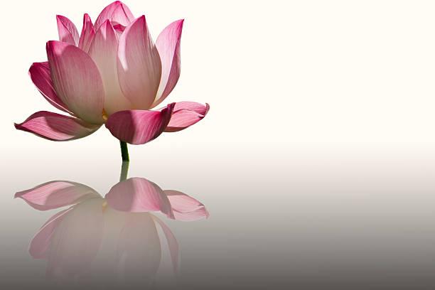 lotus blume - lotus zeichnung stock-fotos und bilder