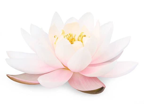 Lotus flower Lotus flower isolated on white water lily stock pictures, royalty-free photos & images