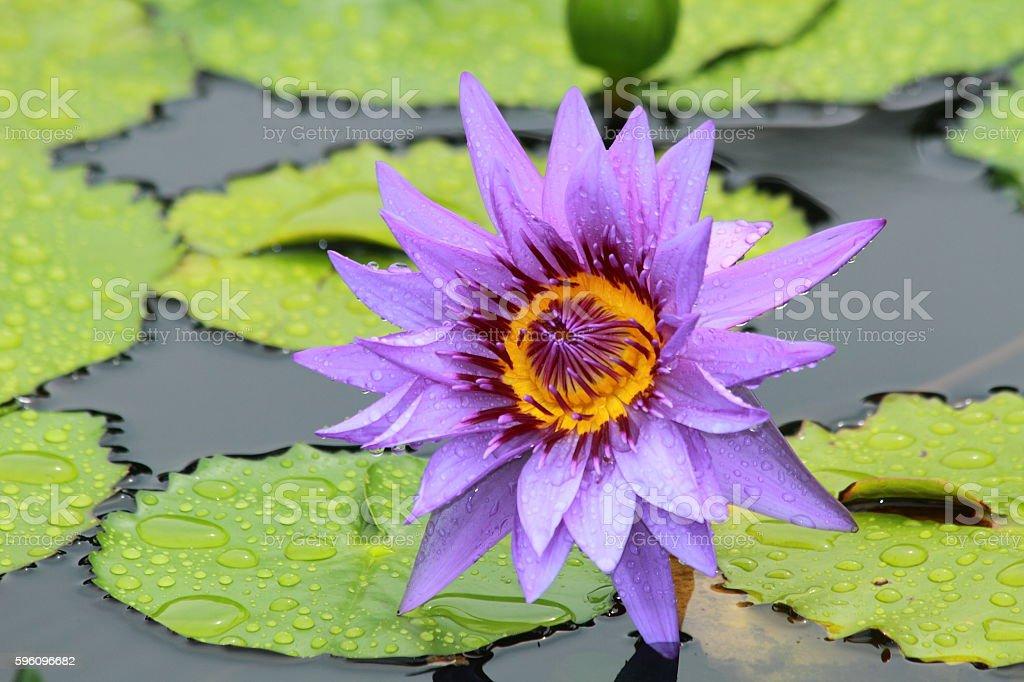 lotus Blume  Lizenzfreies stock-foto