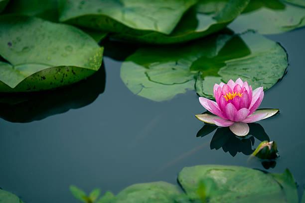 flor de lótus  - lotus - fotografias e filmes do acervo
