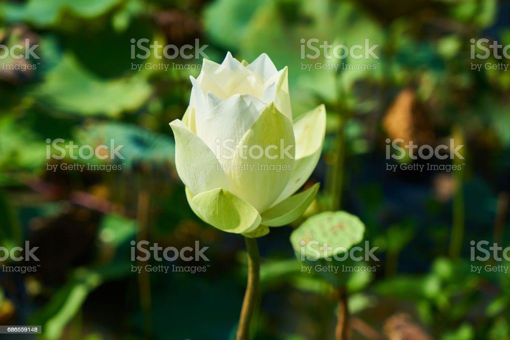 Lotus Flower royalty free stockfoto