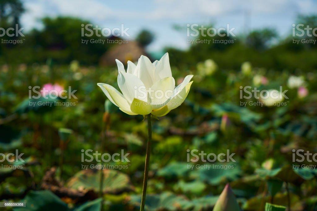 Lotus Flower royaltyfri bildbanksbilder