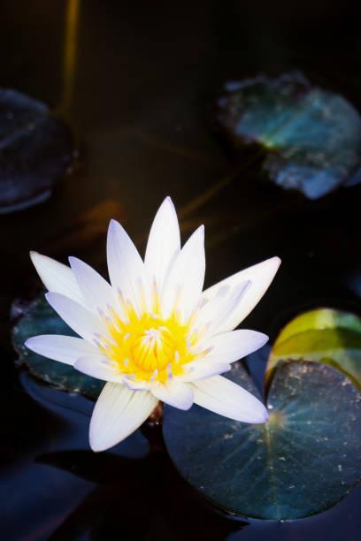 lotus blume - wasserlilien stock-fotos und bilder
