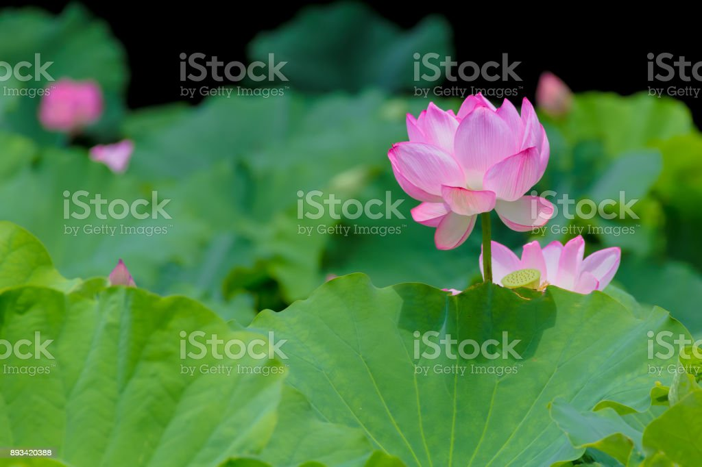 Lotus Flower stock photo