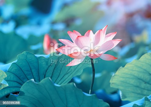 Lotus flower plants in garden pond