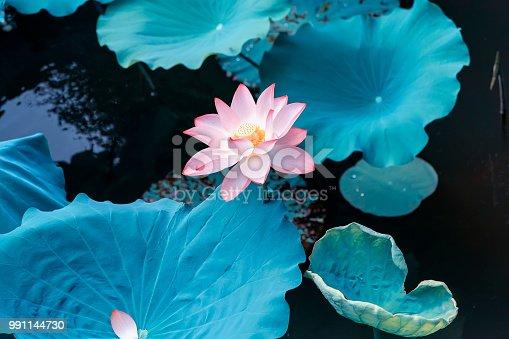 Lotus flower plants in garden pond