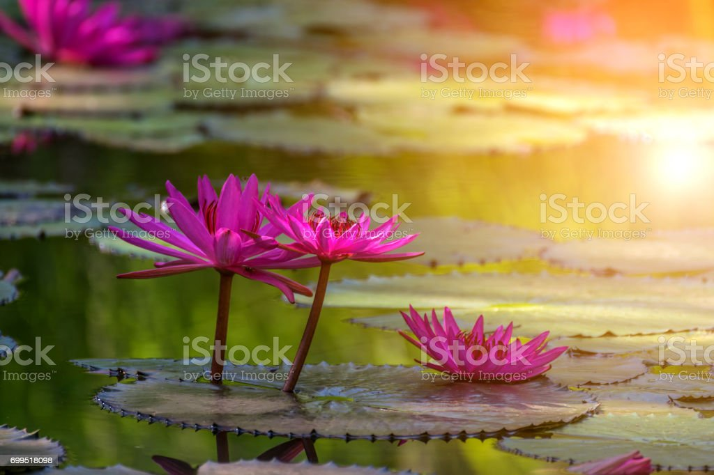 Lotus Flower Purple Violet And Pink Color Naturally Beautiful