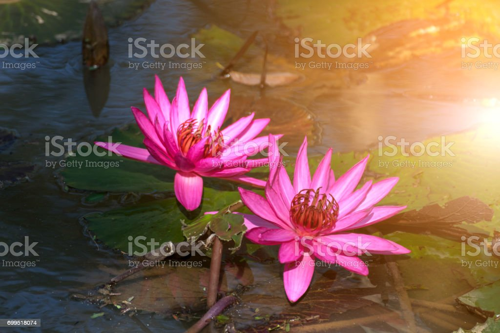 Lotus Flower Purple Violet White And Pink Color Naturally Beautiful