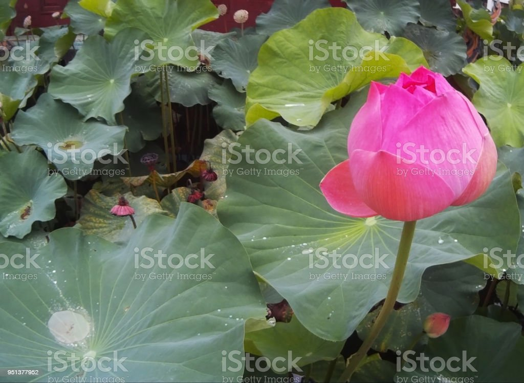 Lotus Flower Rare Flower Ancient Flower Symbol Of Purity Stock Photo
