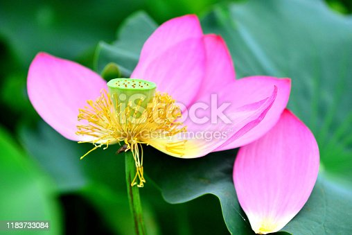 Lotus is a sacred flower for Buddhists and Hindus. It symbolizes purity, beauty, majesty, grace and serenity.