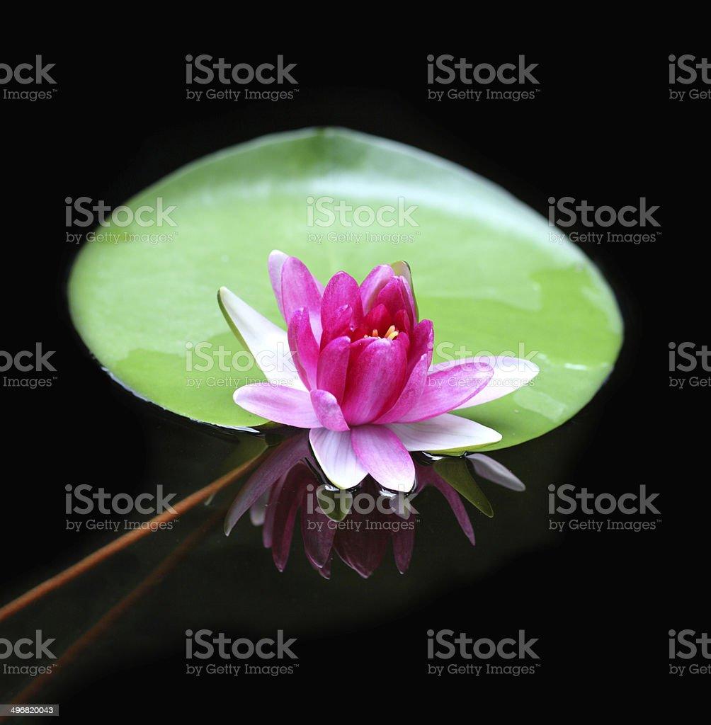 Lotus flower reflection water pond blooming stock photo more lotus flower reflection water pond blooming royalty free stock photo izmirmasajfo