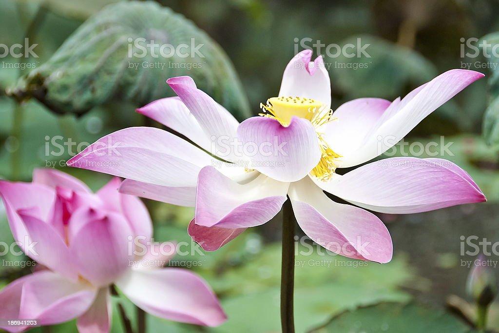 Lotus flower, Saigon, Vietnam. royalty-free stock photo