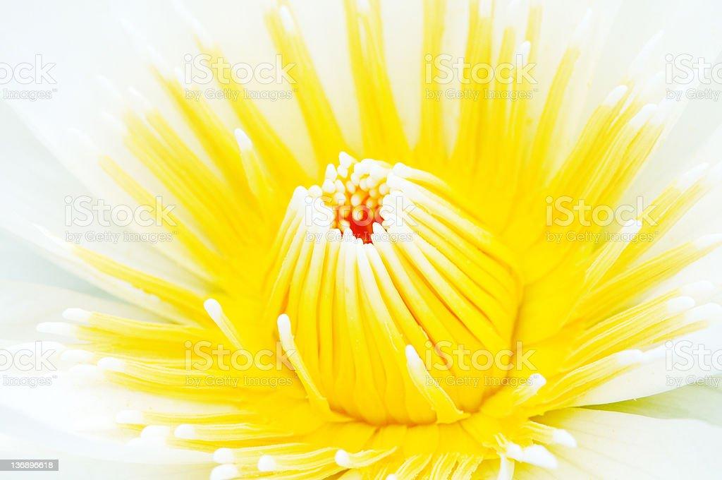 Lotus Flower Stamen royalty-free stock photo