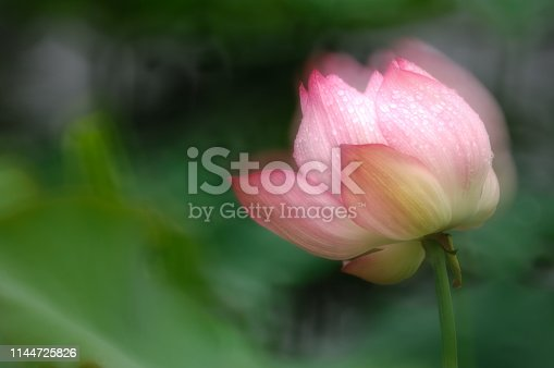 Blooming pink lotus flower take multiple exposure one-time imaging in the pond, Image taken 800mm(35mm equivalent) Lens