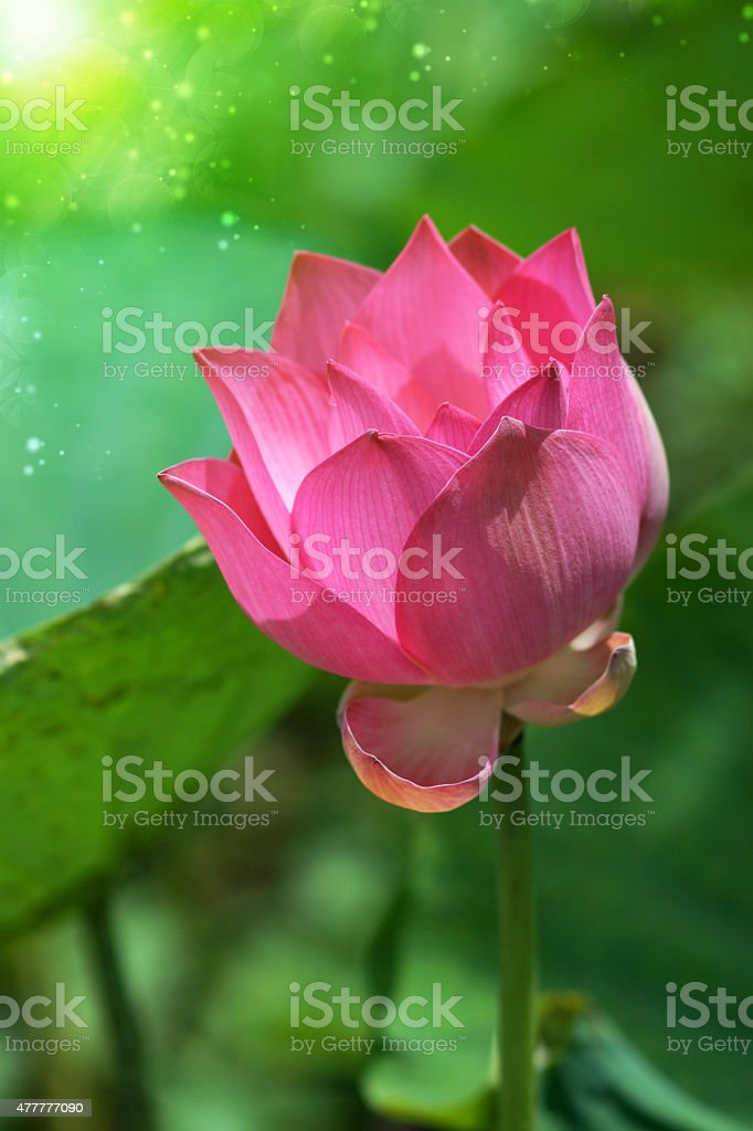Lotus Flower Thailand Stock Photo More Pictures Of 2015 Istock