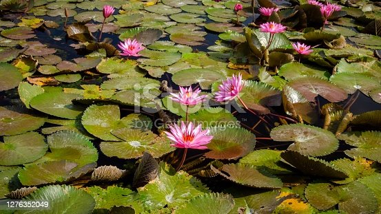 A lotus flower that grows in a pond under the monument to Malang City Hall, Indonesia