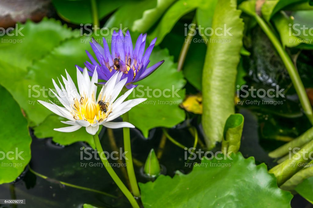 Lotus Flower White And Purple Color Naturally Beautiful Flowers In