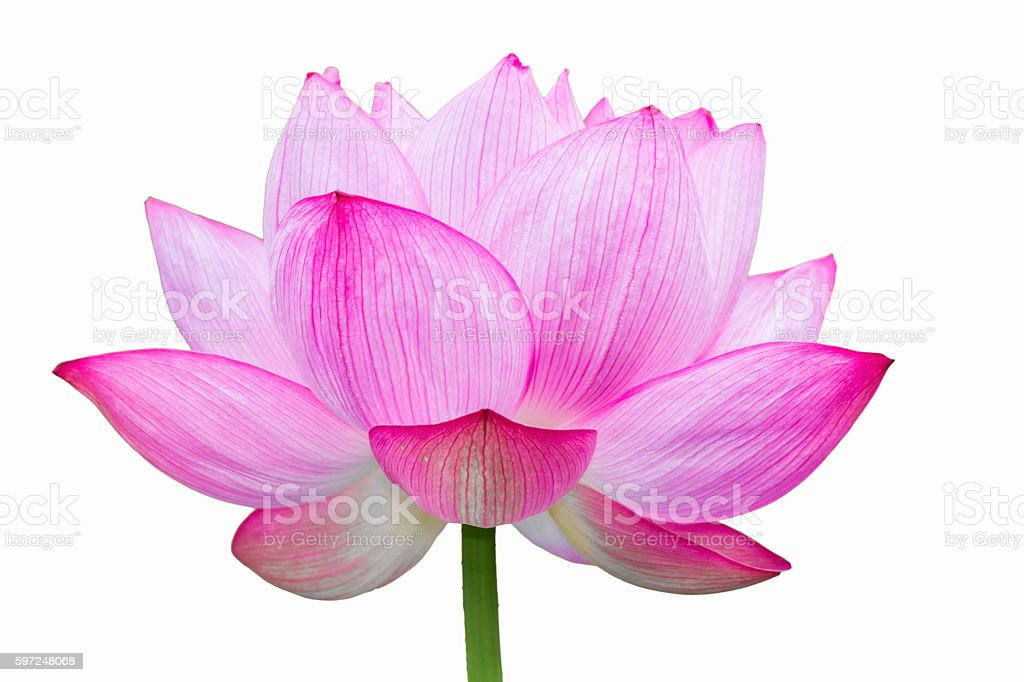 Lotus flower White Background stock photo