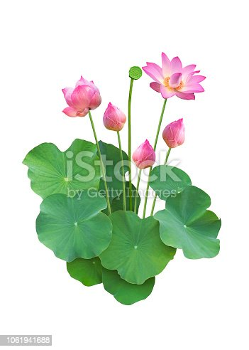 Lotus flower with leaf isolated on white background