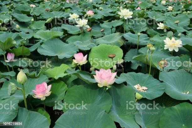 Lotus flower36 picture id1016219934?b=1&k=6&m=1016219934&s=612x612&h=n75vlf2nnkqj9mbjwiwls0jcamnqxyv39bahaciq3xs=
