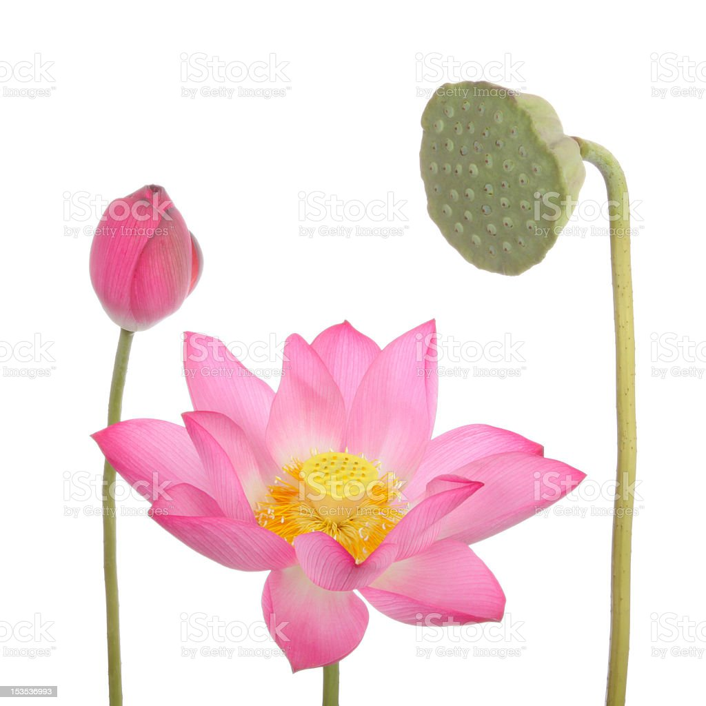 Lotus flowers and seedpod on white background royalty-free stock photo