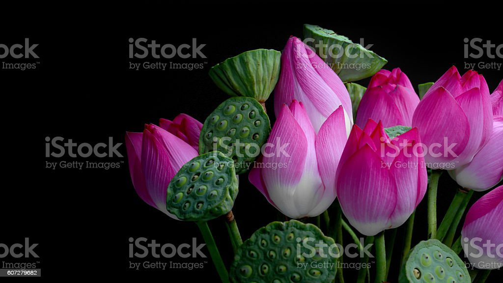 Lotus flowers and seedpods isolated on black background stock photo