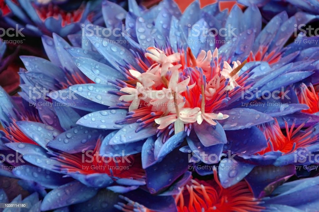 Lotus flowers close-up with dew drops. unrealistic floral blue-red background stock photo