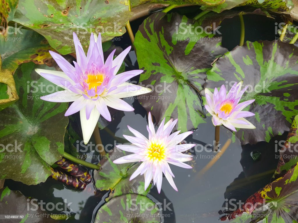 Lotus Flowers In Pond Beautiful Nuture Background Stock Photo More
